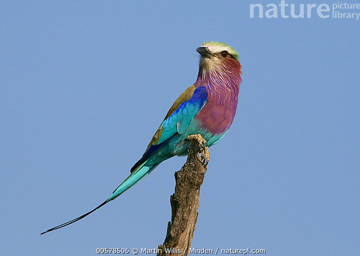 Lilac-breasted Roller (Coracias caudata), Etosha National Park, Namibia  ,  Adult, Color Image, Coracias caudata, Day, Etosha National Park, Full Length, Horizontal, Lilac-breasted Roller, Namibia, Nobody, One Animal, Outdoors, Photography, Side View, Wildlife,Lilac-breasted Roller,Namibia  ,  Martin Willis