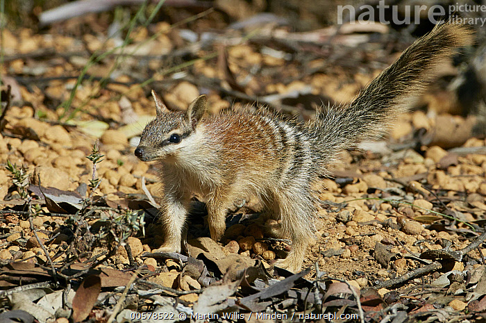 Numbat (Myrmecobius fasciatus) young, Brookton, Western Australia, Australia  ,  Australia, Baby, Brookton, Color Image, Day, Endangered Species, Full Length, Horizontal, Marsupial, Myrmecobius fasciatus, Nobody, Numbat, One Animal, Outdoors, Photography, Side View, Western Australia, Wildlife, Young,Numbat,Australia  ,  Martin Willis