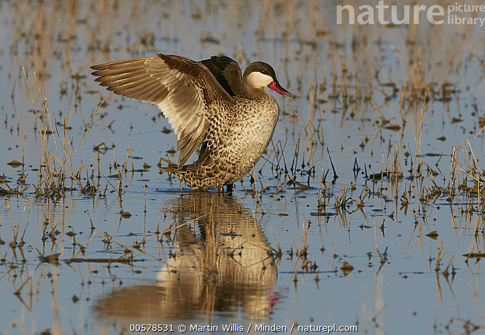 Red-billed Duck (Anas erythrorhyncha) stretching, Etosha National Park, Namibia  ,  Adult, Anas erythrorhyncha, Color Image, Day, Etosha National Park, Full Length, Horizontal, Namibia, Nobody, One Animal, Outdoors, Photography, Reflection, Red-billed Duck, Side View, Spreading Wings, Stretching, Waterfowl, Wildlife,Red-billed Duck,Namibia  ,  Martin Willis