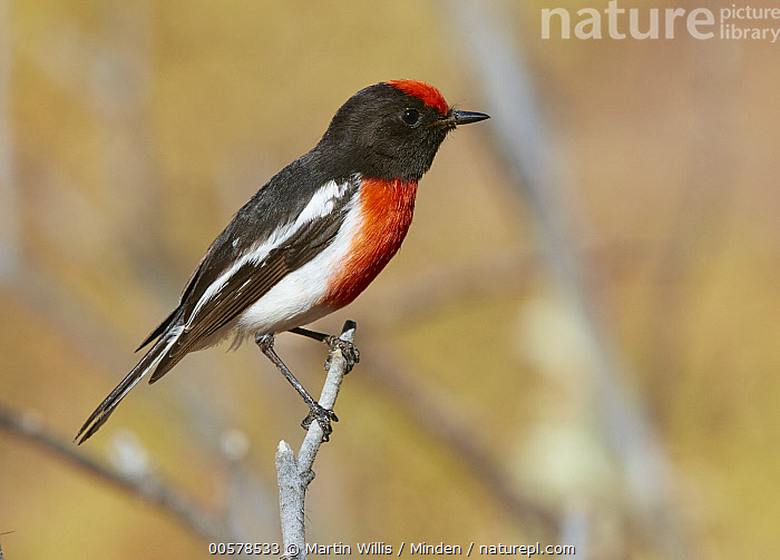 Red-capped Robin (Petroica goodenovii) male, Kirkalocka Station, Mount Magnet, Western Australia, Australia  ,  Adult, Australia, Color Image, Day, Full Length, Horizontal, Kirkalocka Station, Male, Mount Magnet, Nobody, One Animal, Outdoors, Petroica goodenovii, Photography, Red-capped Robin, Side View, Songbird, Western Australia, Wildlife,Red-capped Robin,Australia  ,  Martin Willis