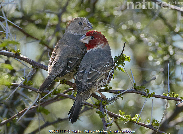 Red-headed Finch (Amadina erythrocephala) female and male, Etosha National Park, Namibia  ,  Adult, Amadina erythrocephala, Color Image, Day, Dimorphic, Etosha National Park, Female, Full Length, Horizontal, Male, Namibia, Nobody, Outdoors, Photography, Rear View, Red-headed Finch, Sexual Dimorphism, Songbird, Two Animals, Wildlife,Red-headed Finch,Namibia  ,  Martin Willis