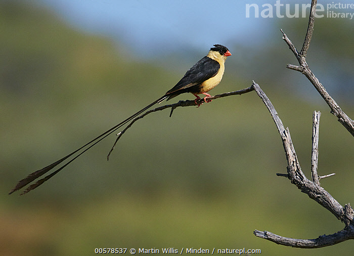 Queen Whydah (Vidua regia) male, Windhoek, Namibia  ,  Adult, Color Image, Day, Full Length, Horizontal, Male, Namibia, Nobody, One Animal, Outdoors, Photography, Queen Whydah, Side View, Songbird, Vidua regia, Wildlife, Windhoek,Queen Whydah,Namibia  ,  Martin Willis
