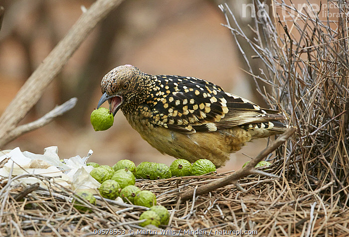 Western Bowerbird (Chlamydera guttata) male decorating bower with green berries, Kirkalocka Station, Mount Magnet, Western Australia, Australia  ,  Adult, Australia, Berry, Bower, Carrying, Chlamydera guttata, Color Image, Courting, Day, Decorating, Displaying, Full Length, Horizontal, Kirkalocka Station, Male, Mount Magnet, Nobody, One Animal, Outdoors, Photography, Side View, Songbird, Western Bowerbird, Western Australia, Wildlife,Western Bowerbird,Australia  ,  Martin Willis