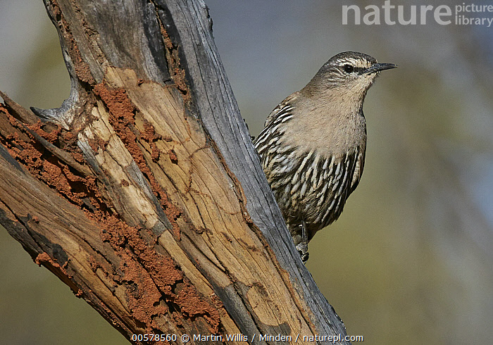White-browed Treecreeper (Climacteris affinis), Kirkalocka Station, Mount Magnet, Western Australia, Australia  ,  Adult, Australia, Climacteris affinis, Color Image, Day, Front View, Full Length, Horizontal, Kirkalocka Station, Mount Magnet, Nobody, One Animal, Outdoors, Photography, Songbird, Western Australia, White-browed Treecreeper, Wildlife,White-browed Treecreeper,Australia  ,  Martin Willis