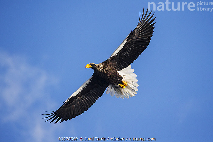 Steller's Sea Eagle (Haliaeetus pelagicus) flying, Hokkaido, Japan  ,  Adult, Color Image, Day, Flying, Full Length, Haliaeetus pelagicus, Hokkaido, Horizontal, Japan, Low Angle View, Nobody, One Animal, Outdoors, Photography, Raptor, Side View, Steller's Sea Eagle, Threatened Species, Underside, Vulnerable Species, Wildlife,Steller's Sea Eagle,Japan  ,  Jami Tarris