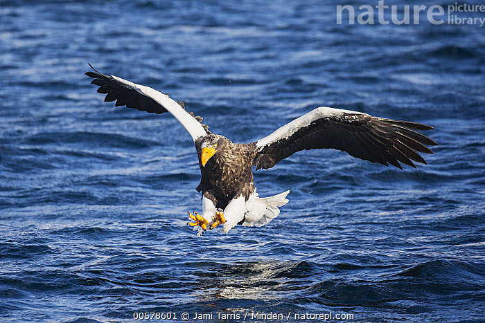 Steller's Sea Eagle (Haliaeetus pelagicus) hunting, Hokkaido, Japan  ,  Adult, Color Image, Day, Fishing, Flying, Foraging, Front View, Full Length, Haliaeetus pelagicus, Hokkaido, Horizontal, Hunting, Japan, Nobody, One Animal, Outdoors, Photography, Raptor, Steller's Sea Eagle, Surface, Threatened Species, Vulnerable Species, Wildlife,Steller's Sea Eagle,Japan  ,  Jami Tarris