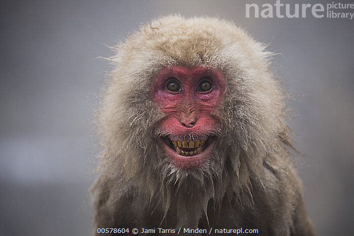 Japanese Macaque (Macaca fuscata) in defensive posture in hot spring, Jigokudani, Nagano, Japan  ,  Adult, Close Up, Color Image, Day, Defensive Posture, Displaying, Front View, Head and Shoulders, Horizontal, Hot Spring, Humor, Japan, Japanese Macaque, Jigokudani, Looking at Camera, Macaca fuscata, Nagano, Nobody, One Animal, Open Mouth, Outdoors, Photography, Portrait, Wildlife,Japanese Macaque,Japan  ,  Jami Tarris