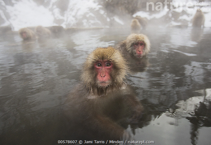 Japanese Macaque (Macaca fuscata) group in hot spring in winter, Jigokudani, Nagano, Japan  ,  Adult, Color Image, Day, Front View, Head and Shoulders, Horizontal, Hot Spring, Japan, Japanese Macaque, Jigokudani, Looking at Camera, Macaca fuscata, Medium Group of Animals, Nagano, Nobody, Outdoors, Photography, Side View, Wide-angle Lens, Wildlife, Winter,Japanese Macaque,Japan  ,  Jami Tarris