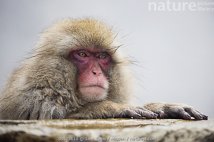 Japanese Macaque (Macaca fuscata), Jigokudani, Nagano, Japan  ,  Adult, Close Up, Color Image, Day, Head and Shoulders, Horizontal, Japan, Japanese Macaque, Jigokudani, Macaca fuscata, Nagano, Nobody, One Animal, Outdoors, Photography, Portrait, Profile, Side View, Wildlife,Japanese Macaque,Japan  ,  Jami Tarris