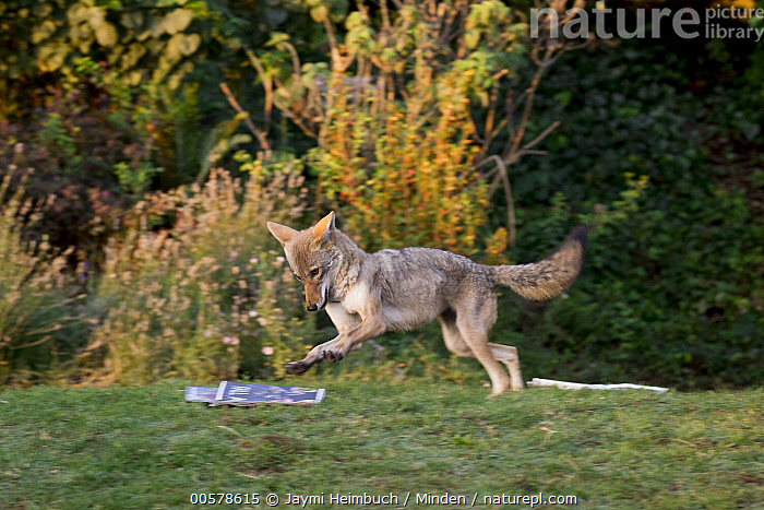 Coyote (Canis latrans) female playing with newspaper, San Francisco, Bay Area, California  ,  Adult, Bay Area, Blurred Motion, California, Canis latrans, Color Image, Coyote, Day, Female, Full Length, Horizontal, Newspaper, Nobody, One Animal, Outdoors, Photography, Playing, San Francisco, Side View, Urban, Wildlife,Coyote,California, USA  ,  Jaymi Heimbuch