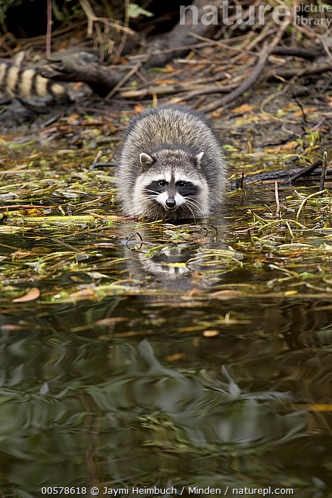 Raccoon (Procyon lotor) juvenile in water, San Francisco, Bay Area, California, Adult, Bay Area, California, Color Image, Day, Front View, Full Length, Juvenile, Looking at Camera, Nobody, One Animal, Outdoors, Photography, Procyon lotor, Raccoon, San Francisco, Vertical, Water, Wildlife,Raccoon,California, USA, Jaymi Heimbuch