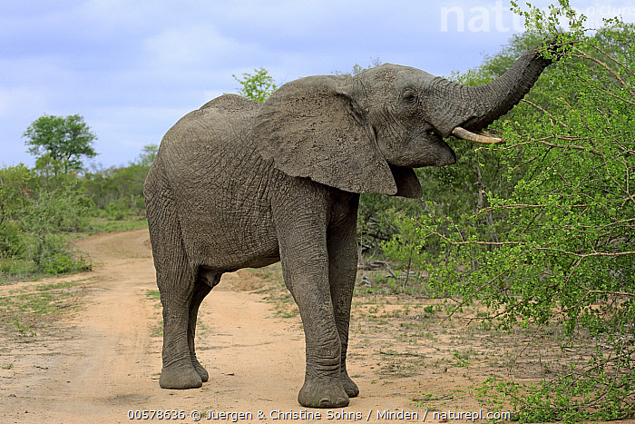 African Elephant (Loxodonta africana) sub-adult male browsing on road, Kruger National Park, South Africa  ,  Adult, African Elephant, Browsing, Color Image, Day, Full Length, Horizontal, Kruger National Park, Loxodonta africana, Male, Nobody, One Animal, Outdoors, Photography, Road, Side View, South Africa, Sub-Adult, Threatened Species, Vulnerable Species, Wildlife,African Elephant,South Africa  ,  Juergen & Christine Sohns