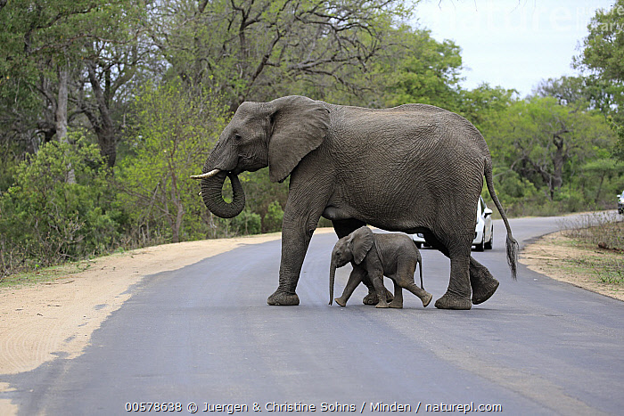 African Elephant (Loxodonta africana) mother and calf crossing road, Kruger National Park, South Africa  ,  Adult, African Elephant, Baby, Calf, Car, Color Image, Crossing, Day, Encroaching, Environmental Issue, Female, Full Length, Habitat Loss, Horizontal, Kruger National Park, Large, Loxodonta africana, Mother, Nobody, Outdoors, Parent, Photography, Road, Side View, South Africa, Threatened Species, Tiny, Two Animals, Vulnerable Species, Wildlife,African Elephant,South Africa  ,  Juergen & Christine Sohns