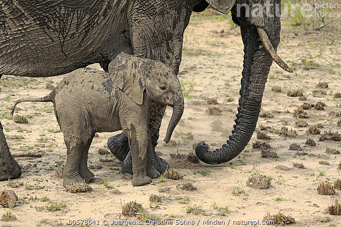 African Elephant (Loxodonta africana) mother and calf, Sabi-sands Game Reserve, South Africa  ,  Adult, African Elephant, Baby, Calf, Color Image, Day, Female, Full Length, Horizontal, Loxodonta africana, Mother, Nobody, Outdoors, Parent, Photography, Sabi-sands Game Reserve, Side View, South Africa, Threatened Species, Two Animals, Vulnerable Species, Wildlife,African Elephant,South Africa  ,  Juergen & Christine Sohns