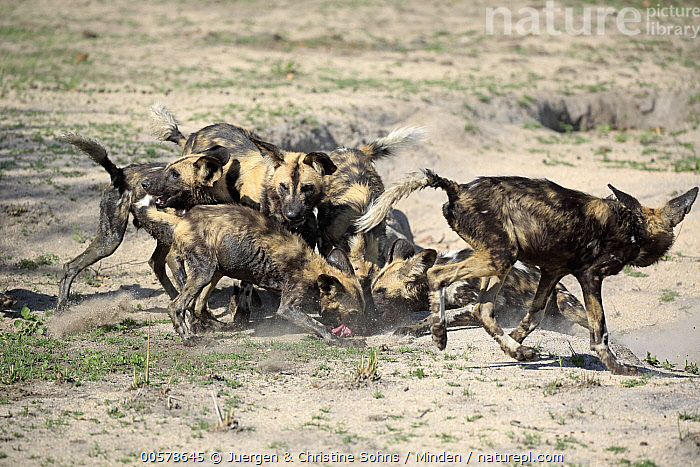 African Wild Dog (Lycaon pictus) sub-adults feeding on kill, Sabi-sands Game Reserve, South Africa  ,  Adult, African Wild Dog, Color Image, Day, Endangered Species, Feeding, Full Length, Horizontal, Kill, Lycaon pictus, Medium Group of Animals, Nobody, Outdoors, Pack, Photography, Predator, Prey, Sabi-sands Game Reserve, Side View, South Africa, Sub-Adult, Wildlife,African Wild Dog,South Africa  ,  Juergen & Christine Sohns