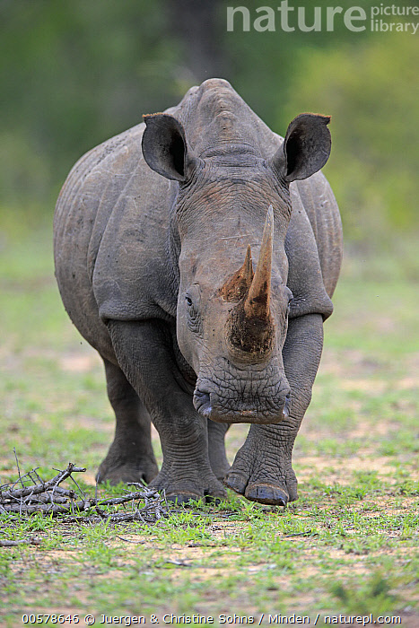 White Rhinoceros (Ceratotherium simum), Sabi-sands Game Reserve, South Africa  ,  Adult, Ceratotherium simum, Color Image, Day, Front View, Full Length, Nobody, One Animal, Outdoors, Photography, Sabi-sands Game Reserve, South Africa, Vertical, White Rhinoceros, Wildlife,White Rhinoceros,South Africa  ,  Juergen & Christine Sohns