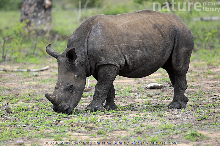White Rhinoceros (Ceratotherium simum) calf grazing, Kruger National Park, South Africa  ,  Adult, Baby, Calf, Ceratotherium simum, Color Image, Day, Full Length, Grazing, Horizontal, Kruger National Park, Nobody, One Animal, Outdoors, Photography, Side View, South Africa, White Rhinoceros, Wildlife,White Rhinoceros,South Africa  ,  Juergen & Christine Sohns