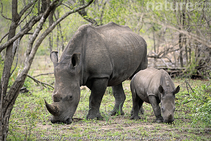 White Rhinoceros (Ceratotherium simum) mother and calf grazing, Kruger National Park, South Africa  ,  Adult, Baby, Calf, Ceratotherium simum, Color Image, Day, Female, Front View, Full Length, Grazing, Horizontal, Kruger National Park, Mother, Nobody, Outdoors, Parent, Photography, Side View, South Africa, Two Animals, White Rhinoceros, Wildlife,White Rhinoceros,South Africa  ,  Juergen & Christine Sohns