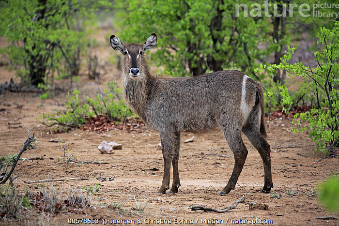 Waterbuck (Kobus ellipsiprymnus) female, Kruger National Park, South Africa  ,  Adult, Color Image, Day, Female, Full Length, Horizontal, Kobus ellipsiprymnus, Kruger National Park, Looking at Camera, Nobody, One Animal, Outdoors, Photography, Side View, South Africa, Waterbuck, Wildlife,Waterbuck,South Africa  ,  Juergen & Christine Sohns