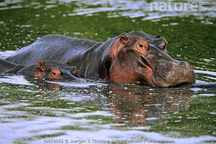 Hippopotamus (Hippopotamus amphibius) mother and calf in water, Sabi-sands Game Reserve, South Africa  ,  Adult, Baby, Calf, Color Image, Day, Female, Head and Shoulders, Hippopotamus, Hippopotamus amphibius, Horizontal, Mother, Nobody, Outdoors, Parent, Photography, Sabi-sands Game Reserve, Side View, South Africa, Threatened Species, Two Animals, Vulnerable Species, Waist Up, Water, Wildlife,Hippopotamus,South Africa  ,  Juergen & Christine Sohns