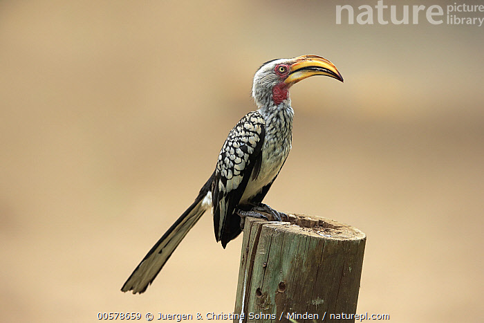Southern Yellow-billed Hornbill (Tockus leucomelas), Kruger National Park, South Africa  ,  Adult, Color Image, Day, Full Length, Horizontal, Kruger National Park, Nobody, One Animal, Outdoors, Photography, Side View, South Africa, Southern Yellow-billed Hornbill, Tockus leucomelas, Wildlife,Southern Yellow-billed Hornbill,South Africa  ,  Juergen & Christine Sohns