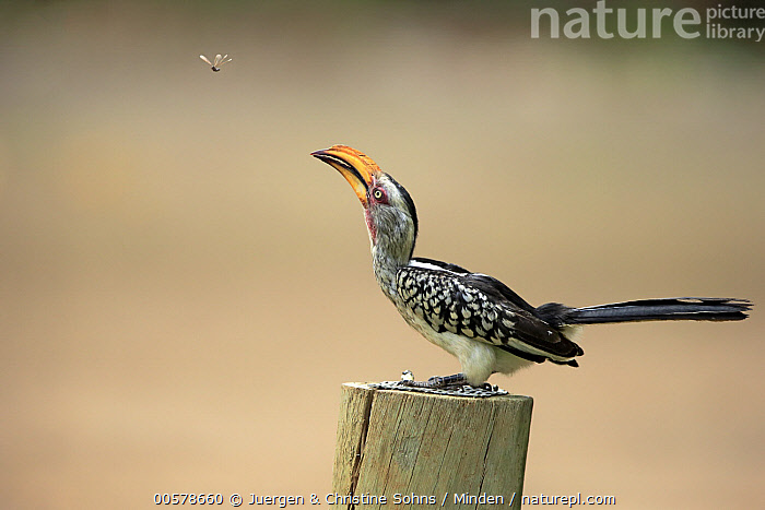 Southern Yellow-billed Hornbill (Tockus leucomelas) hunting flying insect, Kruger National Park, South Africa  ,  Adult, Color Image, Day, Flying, Full Length, Horizontal, Hunting, Insect, Kruger National Park, Nobody, Outdoors, Photography, Predator, Prey, Side View, South Africa, Southern Yellow-billed Hornbill, Tockus leucomelas, Two Animals, Wildlife,Southern Yellow-billed Hornbill,South Africa  ,  Juergen & Christine Sohns