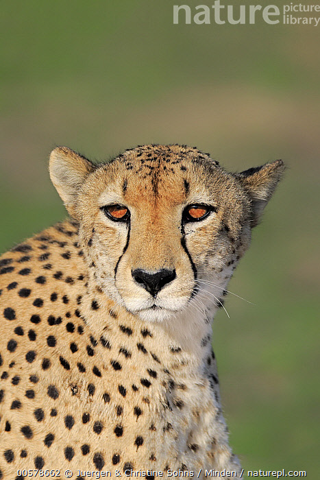 Cheetah (Acinonyx jubatus), Sabi-sands Game Reserve, South Africa  ,  Acinonyx jubatus, Adult, Cheetah, Color Image, Day, Head and Shoulders, Looking at Camera, Nobody, One Animal, Outdoors, Photography, Portrait, Sabi-sands Game Reserve, Side View, South Africa, Threatened Species, Vertical, Vulnerable Species, Wildlife,Cheetah,South Africa  ,  Juergen & Christine Sohns
