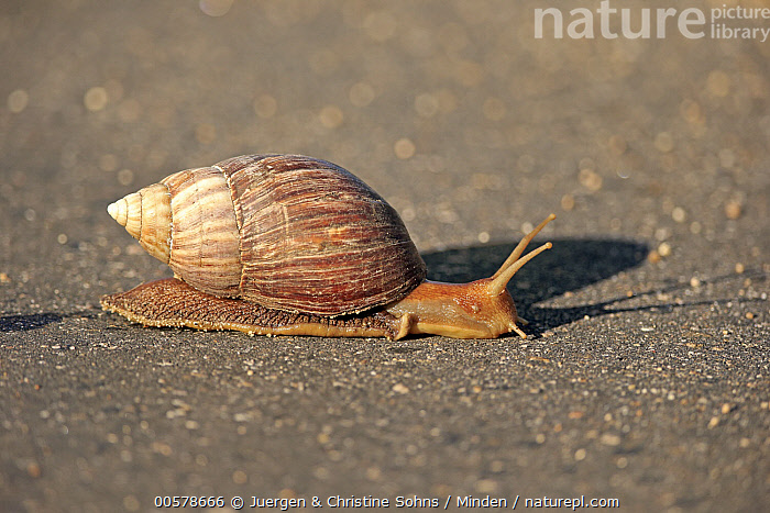 Giant African Land Snail (Lissachatina fulica), Kruger National Park, South Africa  ,  Adult, Color Image, Day, Full Length, Giant African Land Snail, Horizontal, Kruger National Park, Lissachatina fulica, Nobody, One Animal, Outdoors, Photography, Side View, South Africa, Wildlife,Giant African Land Snail,South Africa  ,  Juergen & Christine Sohns