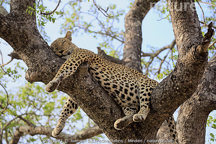 Leopard (Panthera pardus) sleeping in tree, Sabi-sands Game Reserve, South Africa  ,  Adult, Color Image, Day, Full Length, Horizontal, Leopard, Low Angle View, Nobody, One Animal, Outdoors, Panthera pardus, Photography, Resting, Sabi-sands Game Reserve, Side View, Sleeping, South Africa, Wildlife,Leopard,South Africa  ,  Juergen & Christine Sohns