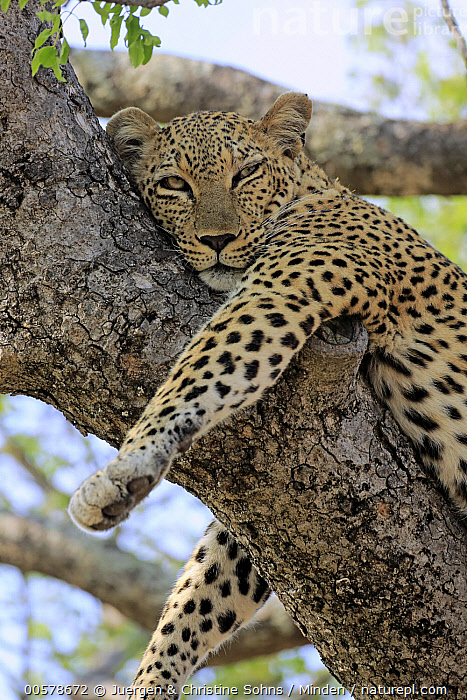 Leopard (Panthera pardus) in tree, Sabi-sands Game Reserve, South Africa  ,  Adult, Color Image, Day, Leopard, Looking at Camera, Low Angle View, Nobody, One Animal, Outdoors, Panthera pardus, Photography, Resting, Sabi-sands Game Reserve, Side View, South Africa, Vertical, Waist Up, Wildlife,Leopard,South Africa  ,  Juergen & Christine Sohns