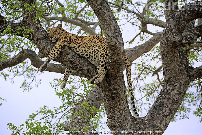 Leopard (Panthera pardus) in tree, Sabi-sands Game Reserve, South Africa, Adult, Color Image, Day, Full Length, Horizontal, Leopard, Low Angle View, Nobody, One Animal, Outdoors, Panthera pardus, Photography, Resting, Sabi-sands Game Reserve, Side View, South Africa, Wildlife,Leopard,South Africa, Juergen & Christine Sohns