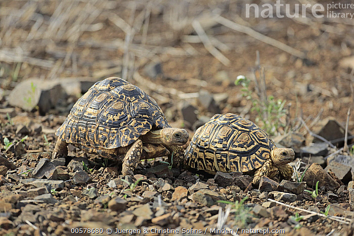 Leopard Tortoise (Geochelone pardalis) pair, Kruger National Park, South Africa  ,  Adult, Color Image, Day, Full Length, Geochelone pardalis, Horizontal, Kruger National Park, Leopard Tortoise, Nobody, Outdoors, Photography, Side View, South Africa, Two Animals, Wildlife,Leopard Tortoise,South Africa  ,  Juergen & Christine Sohns