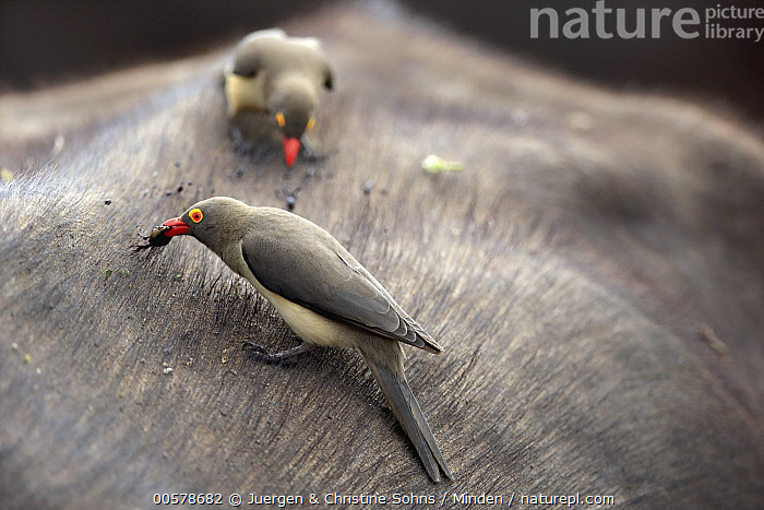 Red-billed Oxpecker (Buphagus erythrorhynchus) pair picking off and feeding on host mammal's parasites, Kruger National Park, South Africa  ,  Adult, Buphagus erythrorhynchus, Color Image, Day, Feeding, Foraging, Front View, Full Length, Horizontal, Host, Kruger National Park, Large Group of Animals, Mammal, Mutualism, Nobody, Outdoors, Parasite, Photography, Red-billed Oxpecker, Side View, Songbird, South Africa, Symbiosis, Tick, Wildlife,Red-billed Oxpecker,South Africa  ,  Juergen & Christine Sohns