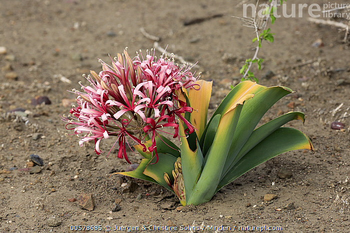 Sand Lily (Crinum buphanoides) blooming, Kruger National Park, South Africa  ,  Blooming, Color Image, Crinum buphanoides, Day, Flower, Horizontal, Kruger National Park, Nobody, Outdoors, Photography, Pink, Sand Lily, South Africa,Sand Lily,South Africa  ,  Juergen & Christine Sohns