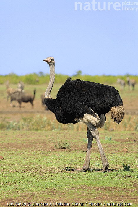 Ostrich (Struthio camelus) male, Kruger National Park, South Africa  ,  Adult, Color Image, Day, Five Animals, Full Length, Kruger National Park, Male, Nobody, Ostrich, Outdoors, Photography, Side View, South Africa, Struthio camelus, Vertical, Wildlife,Ostrich,South Africa  ,  Juergen & Christine Sohns