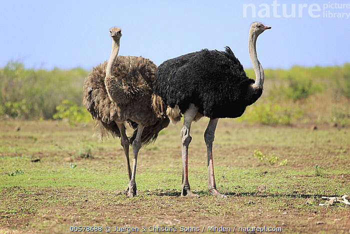 Ostrich (Struthio camelus) female and male, Kruger National Park, South Africa  ,  Adult, Color Image, Day, Dimorphic, Female, Front View, Full Length, Horizontal, Kruger National Park, Male, Nobody, Ostrich, Outdoors, Photography, Sexual Dimorphism, Side View, South Africa, Struthio camelus, Two Animals, Wildlife,Ostrich,South Africa  ,  Juergen & Christine Sohns