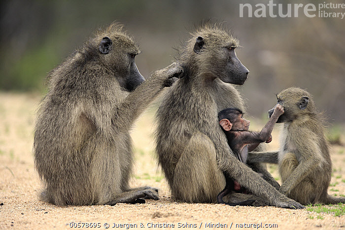 Chacma Baboon (Papio ursinus) female grooming mother with young and juvenile, Kruger National Park, South Africa  ,  Adult, Baby, Bonding, Chacma Baboon, Color Image, Day, Female, Four Animals, Full Length, Grooming, Horizontal, Juvenile, Kruger National Park, Mother, Nobody, Outdoors, Papio ursinus, Parent, Photography, Side View, South Africa, Wildlife, Young,Chacma Baboon,South Africa  ,  Juergen & Christine Sohns