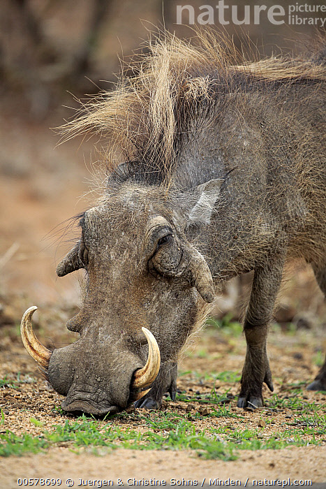 Cape Warthog (Phacochoerus aethiopicus) grazing, Kruger National Park, South Africa, Adult, Cape Warthog, Color Image, Day, Grazing, Kruger National Park, Nobody, One Animal, Outdoors, Phacochoerus aethiopicus, Photography, Side View, South Africa, Vertical, Waist Up, Wildlife,Cape Warthog,South Africa, Juergen & Christine Sohns