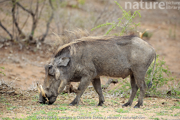 Cape Warthog (Phacochoerus aethiopicus) grazing, Kruger National Park, South Africa, Adult, Cape Warthog, Color Image, Day, Full Length, Grazing, Horizontal, Kruger National Park, Nobody, One Animal, Outdoors, Phacochoerus aethiopicus, Photography, Side View, South Africa, Wildlife,Cape Warthog,South Africa, Juergen & Christine Sohns