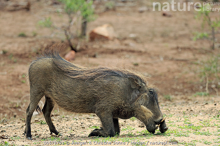 Cape Warthog (Phacochoerus aethiopicus) grazing, Kruger National Park, South Africa  ,  Adult, Cape Warthog, Color Image, Day, Full Length, Grazing, Horizontal, Kneeling, Kruger National Park, Nobody, One Animal, Outdoors, Phacochoerus aethiopicus, Photography, Side View, South Africa, Wildlife,Cape Warthog,South Africa  ,  Juergen & Christine Sohns