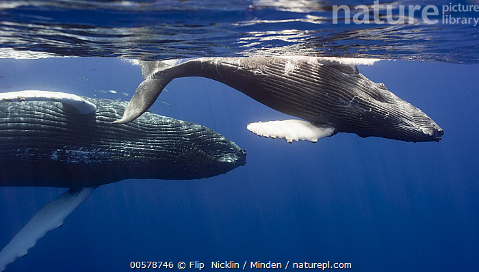 Humpback Whale (Megaptera novaeangliae) mother and calf, Maui, Hawaii  ,  Adult, Baby, Calf, Color Image, Day, Female, Full Length, Hawaii, Horizontal, Humpback Whale, Marine Mammal, Maui, Megaptera novaeangliae, Mother, Nobody, Outdoors, Parent, Photography, Side View, Two Animals, Waist Up, Wildlife,Humpback Whale,Hawaii  ,  Flip  Nicklin