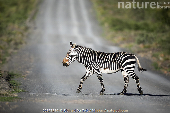 Mountain Zebra (Equus zebra) crossing road, Mountain Zebra National Park, South Africa, Color Image, Crossing, Day, Encroaching, Equus zebra, Full Length, Habitat Loss, Horizontal, Mountain Zebra, Mountain Zebra National Park, Nobody, One Animal, Outdoors, Photography, Road, Side View, South Africa, Wildlife,Mountain Zebra,South Africa, Richard Du Toit