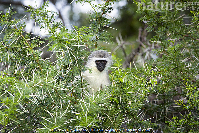 Savanah Monkey (Chlorocebus aethiops) in thorny tree, Mountain Zebra National Park, South Africa  ,  Arboreal, Chlorocebus aethiops, Color Image, Day, Front View, Horizontal, Looking at Camera, Mountain Zebra National Park, Nobody, One Animal, Outdoors, Photography, Savanah Monkey, South Africa, Thorn, Waist Up, Wildlife,Savanah Monkey,South Africa  ,  Richard Du Toit