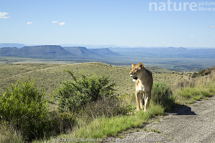 African Lion (Panthera leo) female along road in savanna, Eastern Cape, South Africa  ,  Adult, African Lion, Animal in Habitat, Color Image, Day, Eastern Cape, Female, Front View, Full Length, Horizontal, Lioness, Nobody, One Animal, Outdoors, Panthera leo, Photography, Road, Savanna, South Africa, Wildlife,African Lion,South Africa  ,  Richard Du Toit