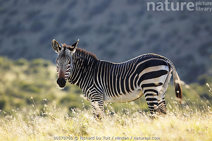 Mountain Zebra (Equus zebra), Mountain Zebra National Park, South Africa  ,  Color Image, Day, Equus zebra, Full Length, Horizontal, Looking at Camera, Mountain Zebra, Mountain Zebra National Park, Nobody, One Animal, Outdoors, Photography, Side View, South Africa, Wildlife,Mountain Zebra,South Africa  ,  Richard Du Toit