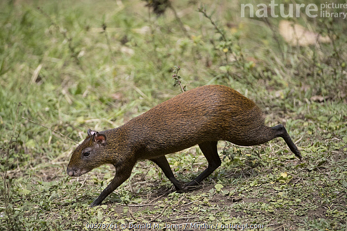 Agouti (Dasyprocta punctata), Costa Rica  ,  Adult, Agouti, Color Image, Costa Rica, Dasyprocta punctata, Day, Full Length, Horizontal, Nobody, One Animal, Outdoors, Photography, Running, Side View, Wildlife,Agouti,Costa Rica  ,  Donald M. Jones