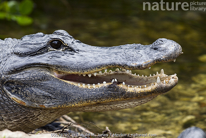 American Alligator (Alligator mississippiensis) thermoregulating, North America  ,  Adult, Alligator mississippiensis, American Alligator, Color Image, Day, Head and Shoulders, Horizontal, Nobody, North America, One Animal, Open Mouth, Outdoors, Photography, Portrait, Profile, Side View, Thermoregulating, Wildlife,American Alligator,North America  ,  Donald M. Jones