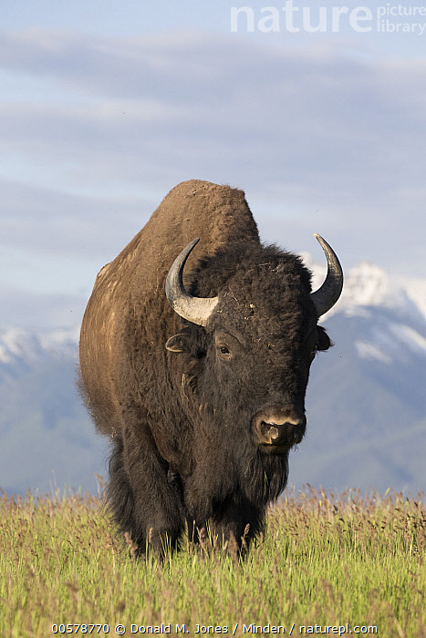 American Bison (Bison bison) bull, National Bison Range, Montana  ,  Adult, American Bison, Bison bison, Bull, Color Image, Day, Front View, Full Length, Male, Montana, National Bison Range, Nobody, One Animal, Outdoors, Photography, Vertical, Wildlife,American Bison,Montana, USA  ,  Donald M. Jones