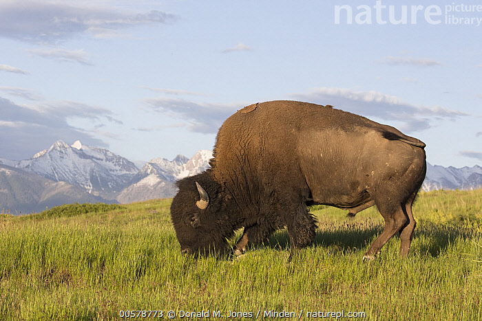 American Bison (Bison bison) bull grazing, National Bison Range, Montana  ,  Adult, American Bison, Bison bison, Bull, Color Image, Day, Full Length, Grazing, Horizontal, Male, Montana, National Bison Range, Nobody, One Animal, Outdoors, Photography, Side View, Wildlife,American Bison,Montana, USA  ,  Donald M. Jones