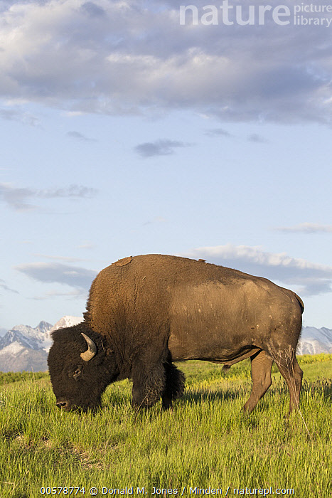 American Bison (Bison bison) bull grazing, National Bison Range, Montana  ,  Adult, American Bison, Bison bison, Bull, Color Image, Day, Full Length, Grazing, Male, Montana, National Bison Range, Nobody, One Animal, Outdoors, Photography, Side View, Vertical, Wildlife,American Bison,Montana, USA  ,  Donald M. Jones